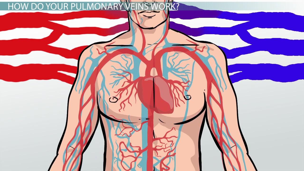 Pulmonary Veins: Function, Definition & Anatomy - Video & Lesson ...