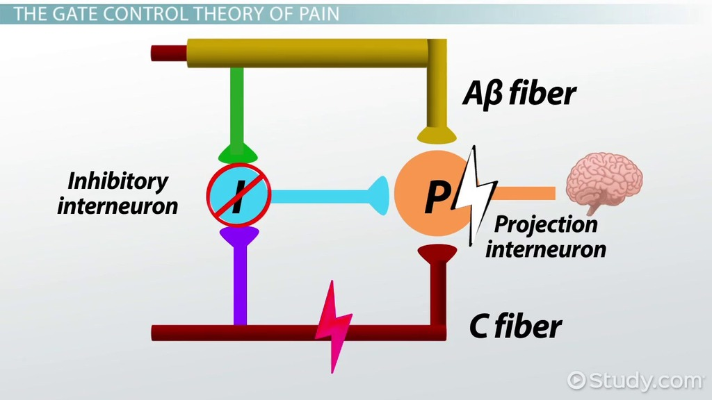 The Gate Control Theory of Pain - Video & Lesson Transcript ...