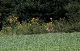Annuals in Deer Management