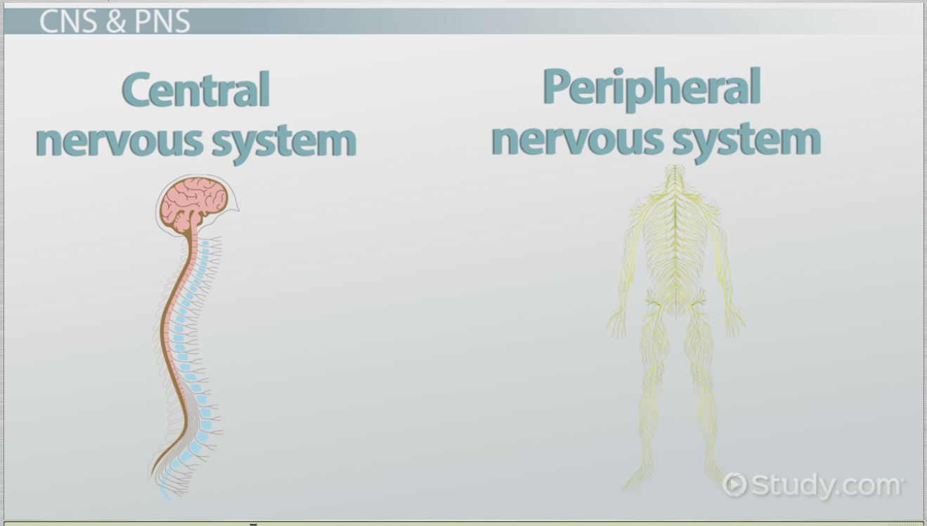 The Human Nervous System Parts Functions Video Lesson – Central Nervous System Worksheet