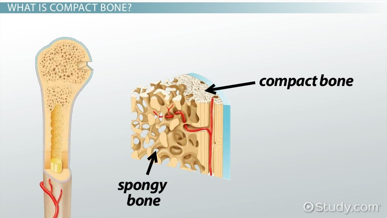 compact bone: definition, structure & function - video & lesson, Cephalic Vein