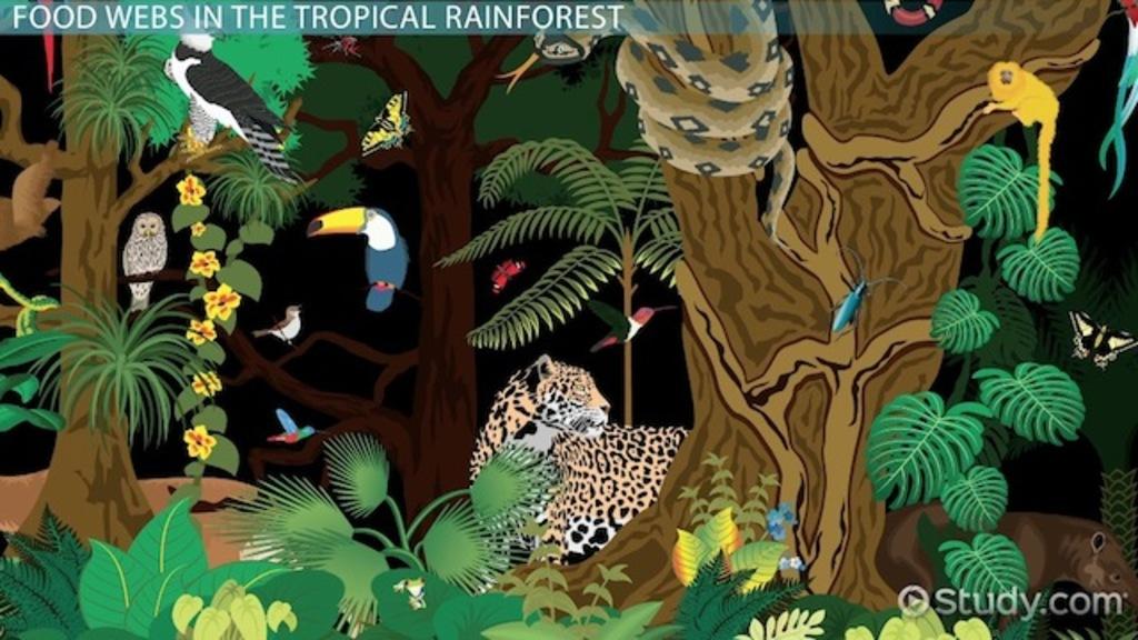 The Tropical Rainforest Food Web - Video & Lesson Transcript ...