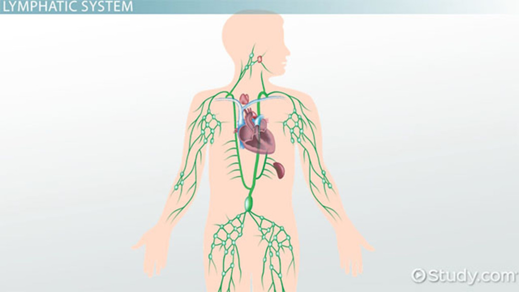 what is the lymphatic system? - structures, function & vocabulary, Cephalic Vein