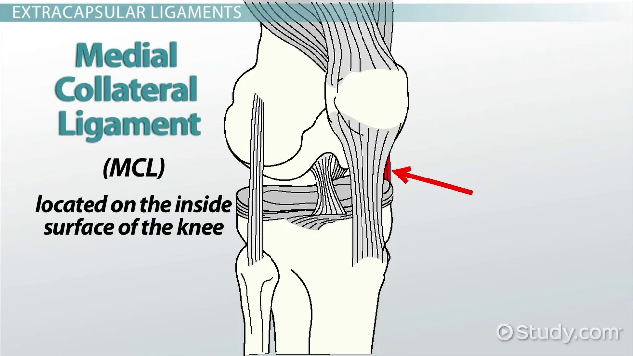 What Are Ligaments? - Definition & Types - Video & Lesson ...