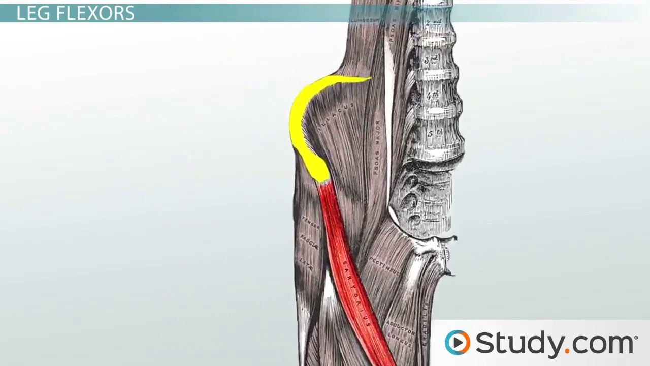 shoulder muscles: anatomy, support & movement - video & lesson, Muscles