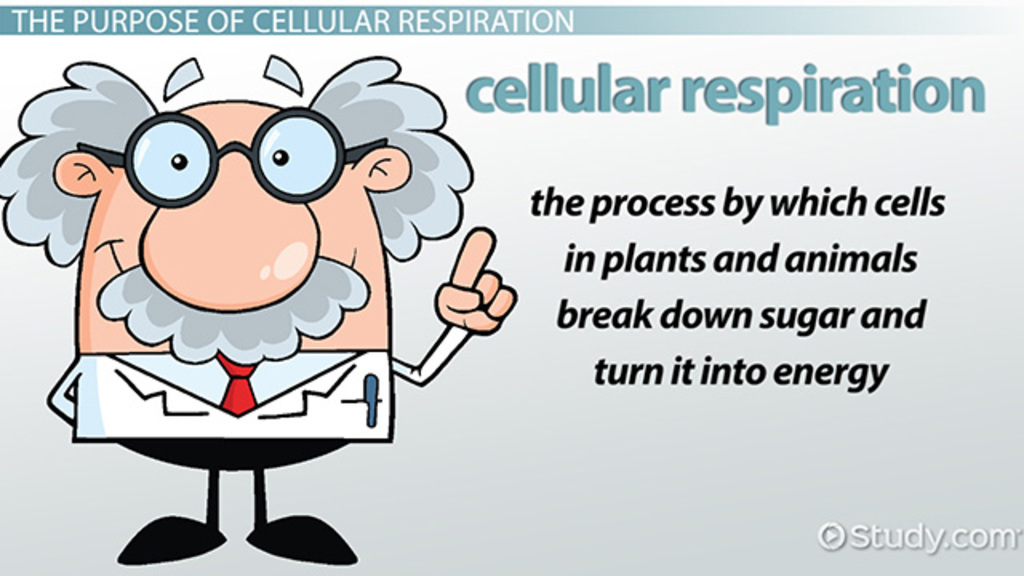 What Is the Purpose of Cellular Respiration Video Lesson – Cellular Respiration Worksheets