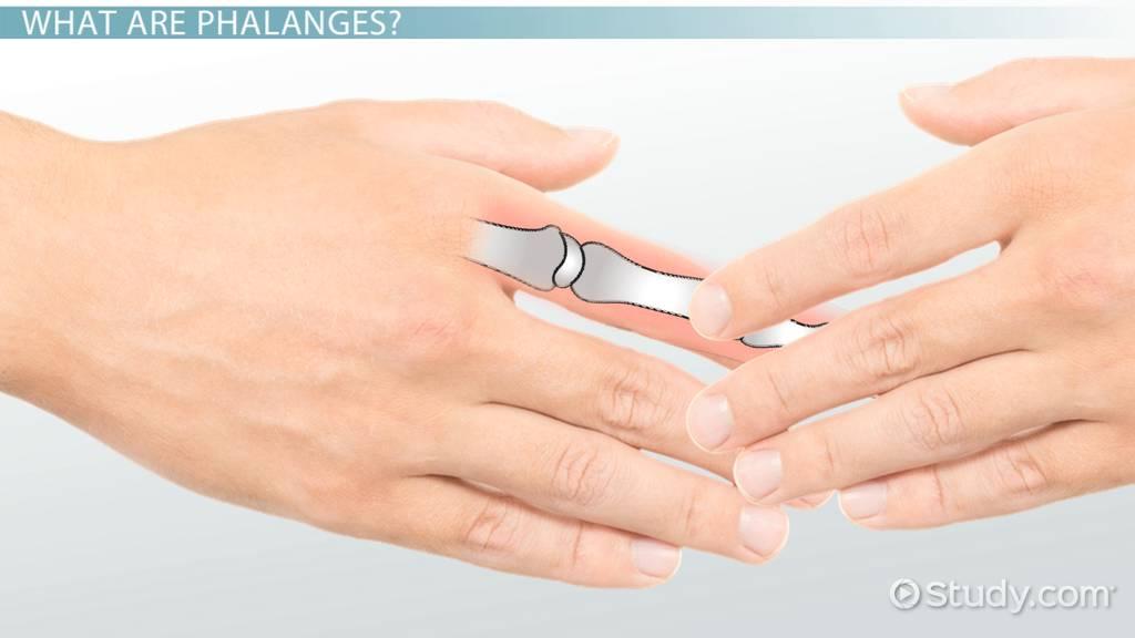 Phalanges: Definition & Function - Video & Lesson Transcript ...