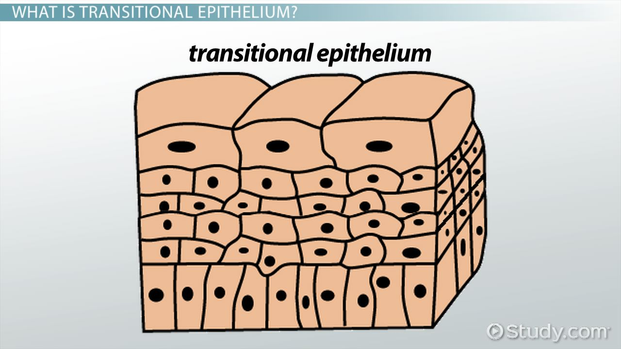 functions of transitional epithelium tissue - video & lesson, Sphenoid