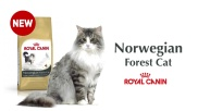 NORWEGIAN FOREST CAT SENSIBILITES (FR-BEL)