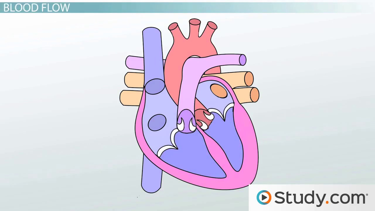 circulatory system ii the human vascular system video lesson circulatory systems anatomy of the heart blood flow and parts