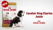 CAVALIER KING CHARLES BENEFITS (FR)