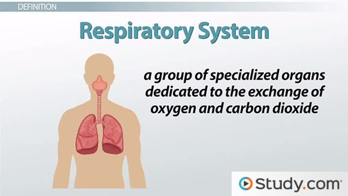 respiratory system essay questions Nclex practice questions for respiratory as is the case in a normal respiratory system related essays.