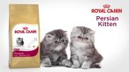 Persan Kitten Sensibilities