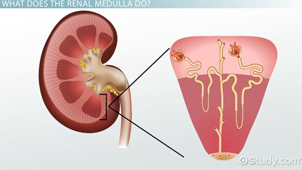 renal medulla: definition & function - video & lesson transcript, Human Body