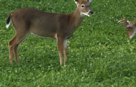 Perennials in Deer Management