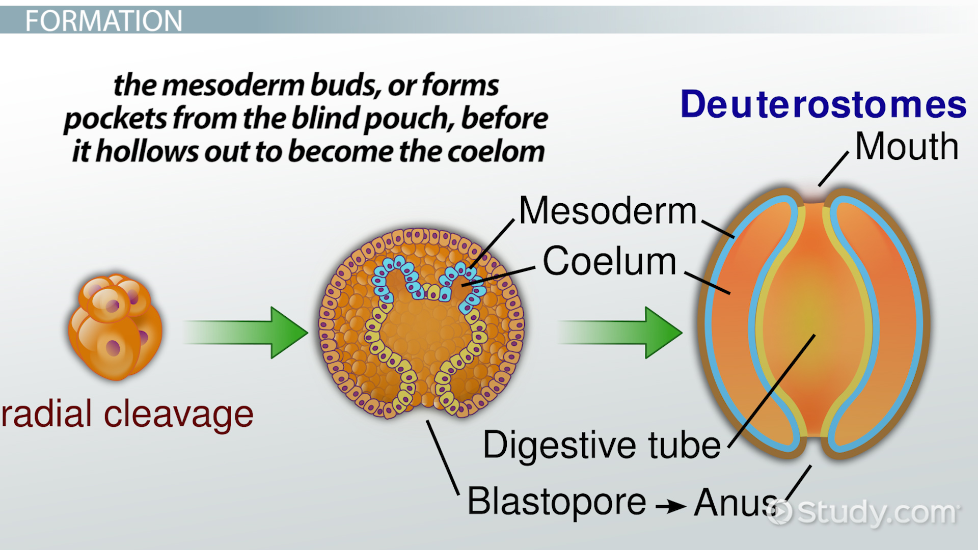 Coelom: Definition, Formation & Function - Video & Lesson ...