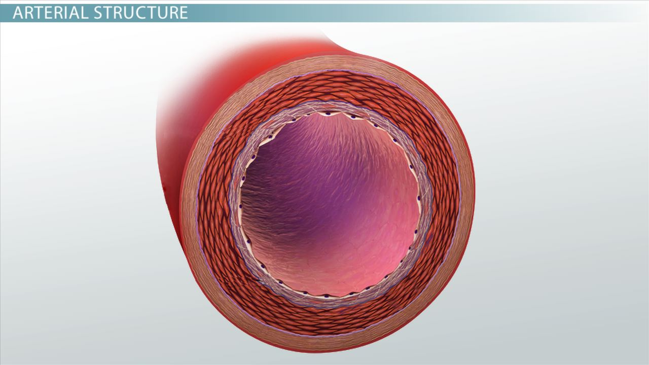 what are arteries? - function & definition - video & lesson, Human Body