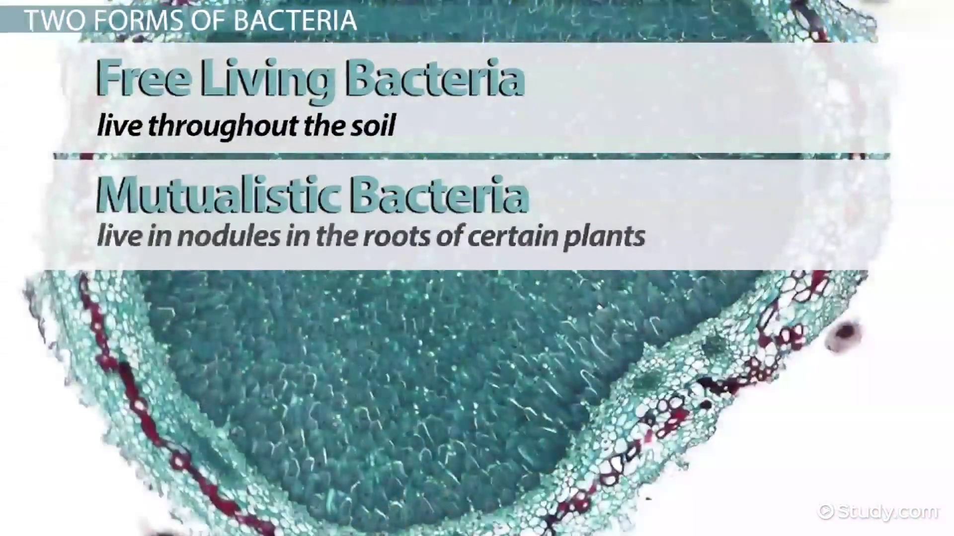 Nitrogen Fixing Bacteria: Role, Definition & Examples - Video ...