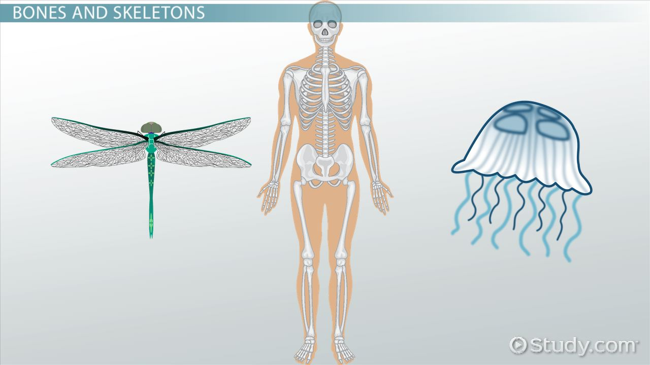 hydrostatic skeletons, exoskeletons & endoskeletons - video, Skeleton