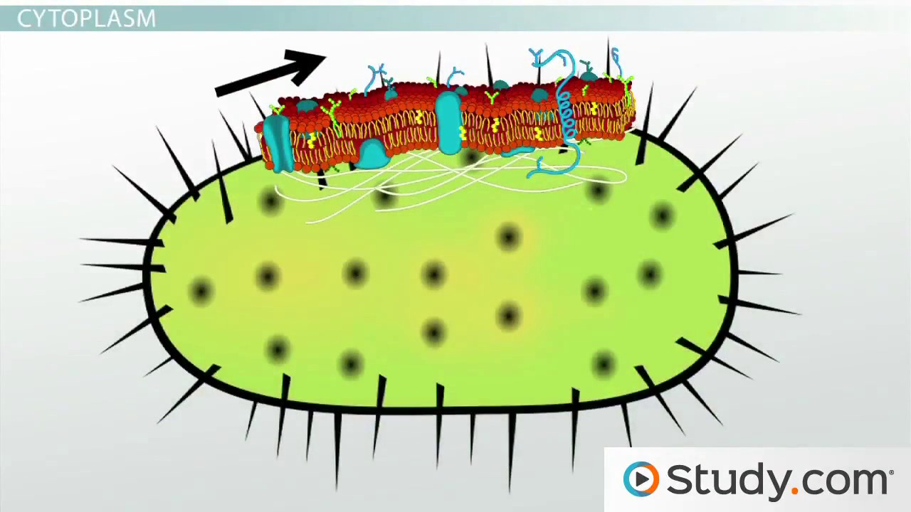 Cell structure of bacteria with diagram - Bacterial Cytoplasm Cell Membrane Structure Components Video Lesson Transcript Study Com