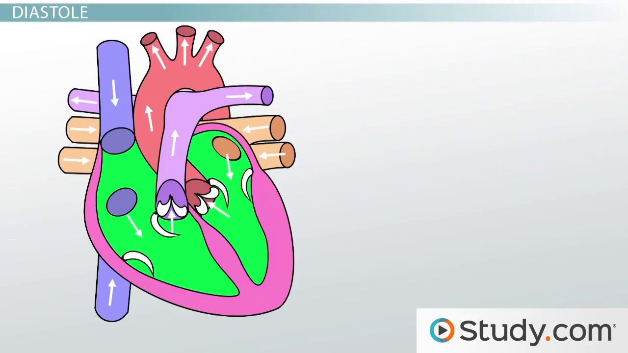 anatomy of the heart: blood flow and parts - video & lesson, Muscles